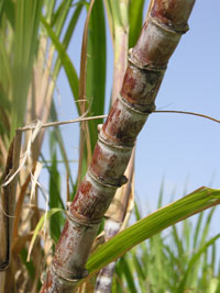 cayon-sugar-cane