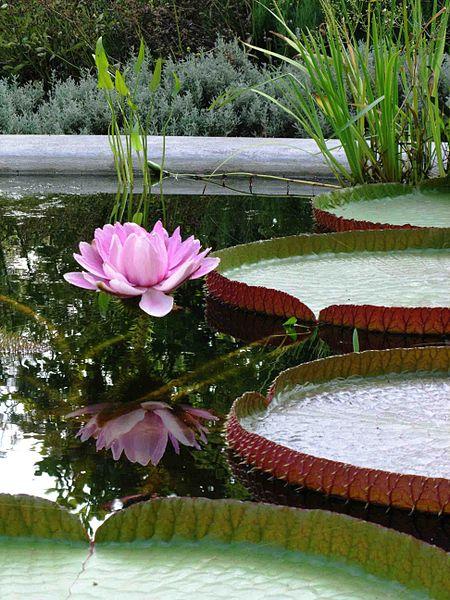 450px-flowering_victoria